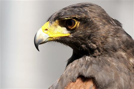 A Harris Hawk is seen at Wildlife research and conservation center in Toluca December 23, 2008. From the live snakes that smugglers stuff with packets of cocaine to the white tigers drug lords keep as exotic pets, rare animals are being increasingly sucked into Mexico's deadly narcotics trade. Following the lead of their Colombian counterparts, Mexico's flashy drug lords like to show off rarities like sea turtle skin boots and build ostentatious private zoos. REUTERS/Felipe Leon