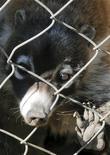 <p>Un coatí enjaulado es visto en el centro de investigación y conservación de animales silvestres en Toluca, 23 dic 2008. Desde las serpientes vivas que los traficantes rellenan con paquetes de cocaína hasta los tigres blancos que los capos de la droga tienen como símbolo de estatus, los animales exóticos están cada vez más involucrados en el violento mundo mexicano de los estupefacientes. A los jefes del narcotráfico les gusta presumir rarezas como botas de piel de tortuga marina o construir zoológicos privados en sus mansiones. REUTERS/Felipe Leon (MEXICO)</p>
