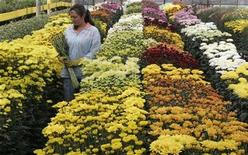 <p>A Colombian worker collect flowers in Tahama cultivation in La Ceja, ahead of St. Valentine's Day, February 6, 2008. REUTERS/Albeiro Lopera</p>