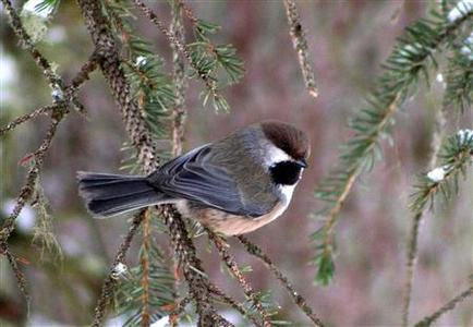 A Boreal Chickadee, pictured in this undated National Audubon Society image, has moved deep into the Canadian Boreal Forest, an Audubon Society study reported on February 10, 2009. Climate change is pushing American birds northward, with some finches and chickadees moving hundreds of miles (km) into Canada's Boreal Forest. Drawing on citizen observations over a 40-year period, the society's scientists found that 58 percent of 305 widespread bird species found in the contiguous United States shifted significantly to the north. REUTERS/Jeremy Yancey/National Audubon Society/Handout