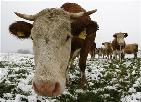 Cows graze in a snow covered field near the southern Bavarian resort of Kochel am See, October 21, 2007. REUTERS/Alexandra Beier