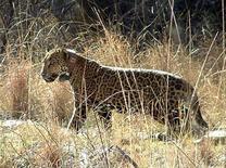 <p>Фотография редкого вида ягуара, сделанная близ Туксона, штат Аризона 18 февраля 2009 года. Самец невероятно редкого вида ягуара был усыплен в понедельник в США, после того, как ветеринары нашли у него неизлечимую болезнь, сообщил представитель Службы охраны животных и рыболовства. REUTERS/Arizona Game and Fish Department/Handout</p>