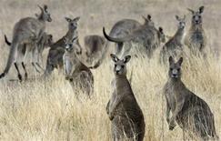 <p>Un kangourou particulièrement excité a fait irruption dimanche soir dans la chambre d'un couple australien à Canberra, semant la panique dans la maison avant d'être mis dehors manu militari par le père de famille. /Photo d'archives/REUTERS/Stefan Postles</p>