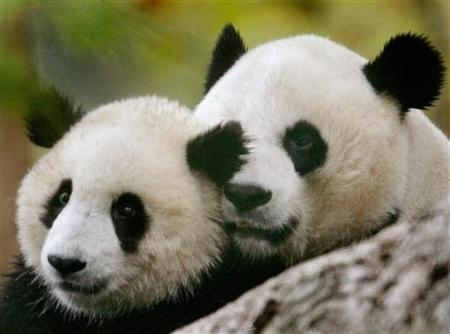 Giant panda cub Tai Shan (L) and his mother Mei Xiang play during the opening of the Giant Panda Habitat and Asia Trail at the National Zoo in Washington, October 17, 2006. REUTERS/Jim Young