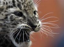 <p>Персидский леопард в зоопарке Будапешта 21 октября 2008 года. Президент Туркмении Курбанкули Бердымухамедов пообещал прислать премьеру России Владимиру Путину четырех редких леопардов для восстановления их популяции на Кавказе, сообщил представитель российского правительства. REUTERS/Laszlo Balogh</p>