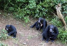 <p>Особи шимпанзе в заповеднике Такугама недалеко от Фритауна в Сьерра-Леоне 14 августа 2007 года. Женские особи шимпанзе чаще вступают в половые связи с самцами, которые регулярно делятся с ними мясом, сообщили немецкие ученые во вторник. REUTERS/Daniel Flynn</p>