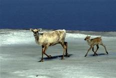<p>A caribou cow and her calf are seen on the Arctic Ocean in Canada's northern Yukon territory in this 2002 file photo. REUTERS/Ken Madsen</p>