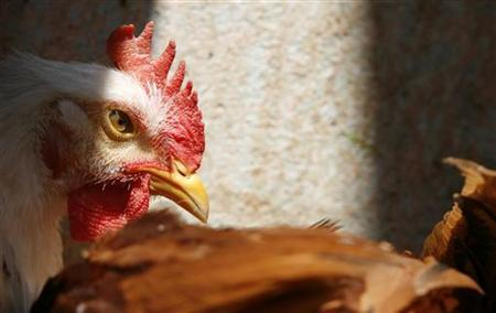 A chicken is seen at a shop in Cairo April 11, 2007. REUTERS/Tara Todras-Whitehill