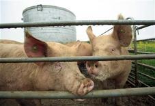 <p>Свиньи на ферме в 40 километрах от Женевы 27 апреля 2009 года. Контейнер с образцами вируса гриппа взорвался во время железнодорожной транспортировки в Швейцарии; при этом один человек получил ранения, но опасности для людей нет, сообщила полиция Швейцарии. REUTERS/Denis Balibouse</p>