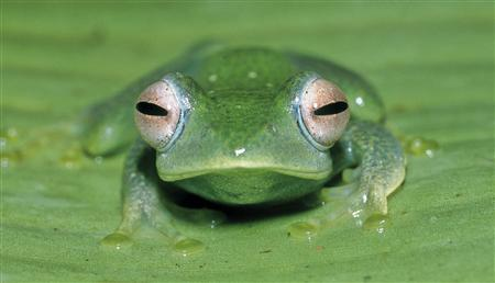 A frog of the new species ''boophis aff elenae'' is seen in this undated picture released by the Spanish Scientific Research Council (CSIC) on May 6, 2009. Scientists have found more than 200 new species of frogs in Madagascar but a political crisis is hurting conservation of the Indian Ocean island's unique wildlife, a study shows. REUTERS/Miguel Vences/Handout