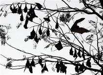 <p>Fruit bats rest on tree branches within the forested area of Subic Bay in the province of Olongapo, north of Manila March 6, 2009. REUTERS/John Javellana</p>