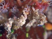 """<p>A tiny seahorse – Hippocampus satomiae - in an undated photo. A pea-sized seahorse, a """"ghost"""" slug and the world's smallest snake measuring just 104 mm (4.1 inches) were among the top 10 new species discovered in 2008, according to a committee of international scientists. REUTERS/John Sear/International Institute for Species Exploration/Handout</p>"""