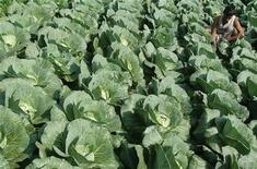 <p>A farmer works at a cabbage farm on the outskirts of Agartala, capital of India's northeastern state of Tripura February 3, 2008. REUTERS/Jayanta Dey</p>