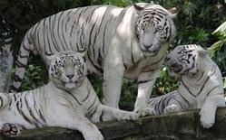 <p>Белые тигры в вольере зоопарка Сингапура 28 июня 2003 года.Редкий белый тигр в среду растерзал смотрителя в одном из зоопарков Новой Зеландии, сообщили местные СМИ. REUTERS/Tim Chong</p>
