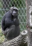 """<p>Le directeur du zoo de Berlin a eu l'index de la main droite arraché d'un furieux coup de dents par Pedro, un chimpanzé de 28 ans (photo) à qui il était en train de donner des noix. Pedro est un mâle dominant qui doit montrer de temps en temps à ses compagnons de captivité qui est le """"boss"""", a expliqué le porte-parole du zoo, Andre Schüle. /Photo prise le 9 juin 2009/REUTERS/Fabrizio Bensch</p>"""
