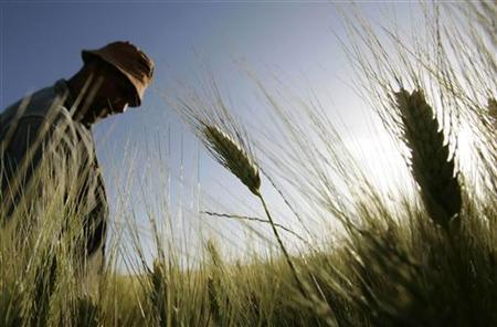 A farmer inspects a wheat field at a farm near Mila, 500 km (310 miles) east of Algiers May 24, 2009. REUTERS/Louafi Larbi