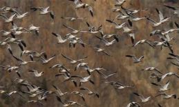 <p>Uccelli nella Cap Tourmente Wildlife area in Canada. REUTERS/Mathieu Belanger (CANADA)</p>