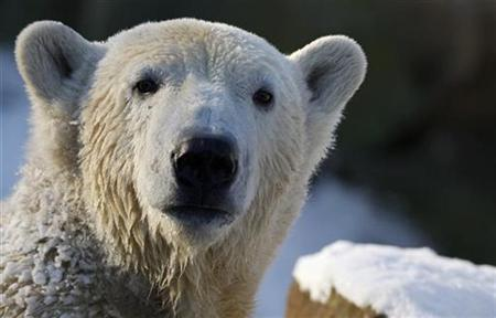 Polar bear Knut enjoys the cold weather in his enclosure at the Berlin Zoo January 6, 2009. REUTERS/Johannes Eisele