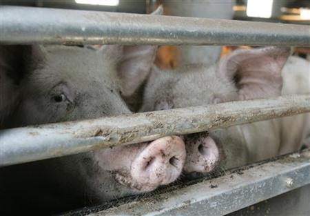 Pigs are seen inside their enclosure as a farmer sprays disinfectant at a pig farm in Yangju, about 40 km (25 miles) north of Seoul, April 29, 2009. REUTERS/Jo Yong-Hak
