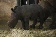 <p>Una cría de rinoceronte blanco en el zoológico de Singapur, 9 jul 2009. Los cazadores furtivos que buscan los cuernos de rinocerontes para fabricar medicinas tradicionales están llevando a las grandes poblaciones de estos animales de Africa y Asia a la extinción, dijeron el jueves grupos de protección del medio ambiente. REUTERS/Tim Chong</p>