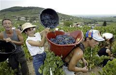 <p>Рабочие собирают виноград в ведра на виноградниках 14 августа 2003 года в Божоле, Франция. Производители вина во французском регионе Божоле наняли 10.000 сборщиков винограда во вторник на фоне массового вытеснения безработными местными жителями рабочих- мигрантов. REUTERS/Robert Pratta</p>