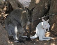 <p>An albino wallaby is seen with another wallaby in their enclosure at a private zoo in the district of Paphos July 30, 2009. REUTERS/Pavlos Vrionides</p>