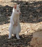 <p>Un wallaby albino en su guarida en un zoológico privado en Paphos, Chipre, 30 jul 2009. Un inusual wallaby albino nació en cautiverio en Chipre, convirtiéndose en la atracción principal de un zoológico privado. REUTERS/Pavlos Vrionides</p>