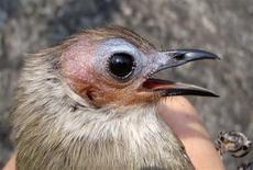 """<p>Foto de archivo de un """"Bulbul calvo"""" descubierto en Laos, 5 dic 2008. Un extraño pájaro cantor calvo fue descubierto en una escarpada región de Laos, el primer hallazgo de este tipo en Asia en más de un siglo, dijo el jueves la Sociedad de Conservación de la Naturaleza (WCS, por su sigla en inglés). REUTERS/University of Melbourne/Iain Woxvold/Handout</p>"""