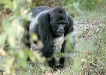 <p>Gorilla in Uganda. REUTERS/Molly Riley</p>