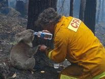 <p>A koala named Sam is given a drink of water by Country Fire Authority volunteer fire fighter Dave Tree as he rescued her after deadly fires swept through the area of Mirboo North, about 120km (75 miles) southeast of Melbourne, February 8, 2009. REUTERS/Mark Pardew</p>