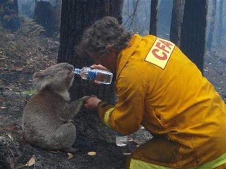 A koala named Sam is given a drink of water by Country Fire Authority volunteer fire fighter Dave Tree as he rescued her after deadly fires swept through the area of Mirboo North, about 120km (75 miles) southeast of Melbourne, February 8, 2009. REUTERS/Mark Pardew