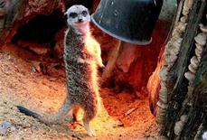 <p>A meerkat warms up under a heat lamp at the zoo of Antwerp January 14, 2009. REUTERS/Sebastien Pirlet</p>