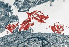 <p>Фотография вируса H1N1 (красный), сделанная 9 июля 2009 года. Россия начнет испытания вакцины против вируса гриппа А/H1N1 на 30-60 добровольцах в начале сентября, а ее производство - в октябре, сказал в интервью Рейтер директор Института гриппа Российской академии наук Олег Киселев. REUTERS/Image courtesy of Yoshihiro Kawaoka/University of Wisconsin-Madiso/Handout</p>