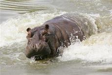 <p>Foto de archivo de un hipopótamo en un lago artificial en Puerto Triunfo, Colombia, 21 dic 2006. Zoólogos africanos llegaron a Colombia para asesorar al Gobierno en el manejo de al menos 22 hipopótamos que deambulan por una amplia región del centro del país luego de huir de las ruinas de un zoológico que perteneció al narcotraficante Pablo Escobar. REUTERS/Daniel Munoz (COLOMBIA)</p>
