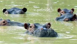 <p>Foto de archivo de una manada de hipopótamos en un lago en la residencia abandonada del narcotraficante Pablo Escobar en Puerto Triunfo, Colombia, 10 dic 2002. Expertos africanos recomendaron el miércoles a Colombia confinar a hipopótamos que deambulan en un área central del país tras huir de las ruinas del zoológico del extinto narcotraficante Pablo Escobar, un plan costoso y para el que no descartan sacrificar algunos animales. REUTERS/STR New</p>