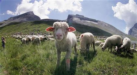 Sheep graze during the annual shepherd festival on the Gemmi pass between the Bernese Oberland and the Valais in this July 30, 2006 file photo. Farming plankton, sending solar panels into orbit, remodelling hydrogen -- for the latest wave of entrepreneurs suggesting easier ways out of climate change, it's all in a day's pitching. Some plans seek radical alternatives to fossil fuels. Other businesses are dreaming of geoengineering -- planning to tweak the earth's climate by removing heat-trapping carbon dioxide (CO2) or reflecting sunlight into space. Soil Carbon is a company urging changes in farm livestock management, to rotate grazing across wider tracts of shared land rather than cooping animals in a handful of fields. By grazing cattle intensively but briefly in fields or paddocks rotated across a larger area, the grass would be fertilised with dung and grow back after grazing and trampling, absorbing CO2 as it grows and deposits it in the soil. REUTERS/Pascal Lauener