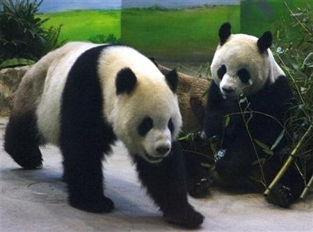 Pandas Tuan Tuan and Yuan Yuan, whose names together mean ''reunion'' in Chinese, walk around inside their enclosure at the Taipei City Zoo March 23, 2009. REUTERS/Nicky Loh