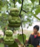 """<p>""""Грушедети"""" в фруктовом саду китайского фермера Хао Сяньчзан, провинция Хэбэй 10 сентября 2009 года. Хотите отхватить кусочек бессмертия? Китайский фермер Хао Сяньчзан, почерпнув из классического литературного произведения рецепт вечной жизни, стал выращивать груши в форме детей. Он надеется, что столь оригинальный ход обогатит его. REUTERS/Pillar Lee</p>"""