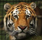 <p>Vitali the Siberian tiger roams in his cage in the Calgary Zoo in Calgary, Alberta, October 5, 2009. REUTERS/Todd Korol</p>