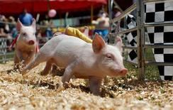 <p>Свиные бега на ярмарке Cattaraugus, Нью-Йорк 4 августа 2007 года. В Соединенных Штатах подтвердился первый случай заражения свиньи гриппом А/H1N1, сообщило министерство сельского хозяйства. REUTERS/Gary Hershorn</p>
