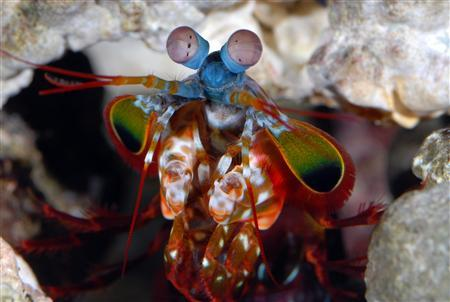 Mantis shrimps, dubbed ''thumb splitters'' by divers because of their vicious claws, have the most complex eyes in the animal kingdom. CREDIT/Roy Caldwell