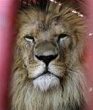 <p>Simba, uno de los cinco leones que vivirá en un nuevo refugio, en Cochabamba, Bolivia, 18 oct 2009. Simba, un león de tres años y 200 kilos que creció entre latigazos y payasos, confinado a una pequeña jaula en un circo de Bolivia, ahora se apresta a disfrutar de una nueva vida en uno de los más grandes refugios para animales salvajes del mundo. Su futuro viaje a un santuario en Estados Unidos será posible gracias a la aprobación en el parlamento boliviano de la primera ley en el mundo que prohíbe el uso de animales en los circos. El joven felino dejará la privación y violencia ocultas tras la música y la ilusión circenses junto a su mamá Maiza y sus hermanos Gordo, Daktar y Camba. REUTERS/David Mercado</p>
