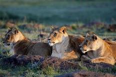 """<p>Foto de archivo de un grupo de leonas en la reserva Masai Mara, Kenia, nov 14 2008. Dos leones """"comehombres"""" aterrorizaron Kenia durante la construcción de un puente ferroviario sobre el río Tsavo a finales del siglo XIX, pero sólo uno de ellos estaba alimentándose de manera habitual de seres humanos, según un estudio. REUTERS/Laszlo Balogh</p>"""