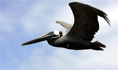 A brown pelican (pelecanus occidentalis) flies over Ecuador's Galapagos islands April 30, 2007. REUTERS/Guillermo Granja