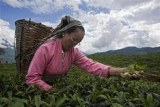 <p>A tea garden labourer plucks tea leaves at the organic tea garden of Temi Tea Estate in India's Himalayan state of Sikkim October 10, 2009. REUTERS/Tim Chong</p>