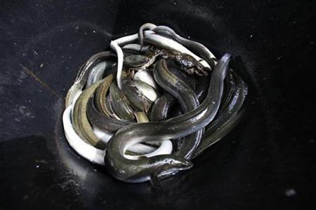 No more endangered eel at top supermarket reuters for Lampen reuter