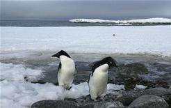 <p>Dos pinguinos Adelia descansan en las orillas de la bahía Commonwealth en Antártida, 13 dic 2009. Viajar diariamente al trabajo puede ser fastidioso si hay demasiado tránsito, pero a Mireille Raccurt le lleva más de 10 días volar y navegar los traicioneros mares que la separan del lugar en que desarrolla sus tareas. La doctora Raccurt es investigadora del Centro Nacional de Investigación Científica (CNRS por sus siglas en francés) financiado por el Gobierno de Francia y profesora en la Universidad Claude Bernard de Lyon. Desde hace ocho veranos viaja a la estación científica francesa Dumont D'Urville, en la parte oriental de la Antártida, para investigar al pingüino Adelia, cuya población ha disminuido en más del 65 por ciento durante los últimos 25 años debido a la reducción del hielo marino y a la escasez de alimento. REUTERS/Pauline Askin</p>