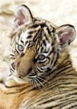 <p>Двухмесячный индокитайский тигренок в зоопарке в Ханое 2 марта 2007 года. Суд приговорил к 12 годам заключения мужчину, который полакомился, возможно, последним индокитайским тигром в Китае, сообщают местные СМИ. REUTERS/Kham</p>