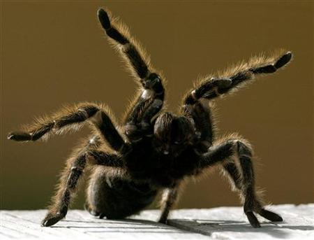 File photo of a Chilean rose tarantula is shown at the environment reserve in Mexico state, August 15, 2003. REUTERS/Henry Romero