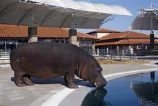 <p>A hippopotamus called Nikica drinks water from the swimming pool in the centre of the Plavnica hotel complex, some 17km south of Podgorica January 13, 2010. REUTERS/Stevo Vasiljevic</p>